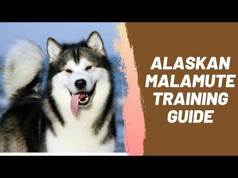 Alaskan Malamute Training Guide - YouTube