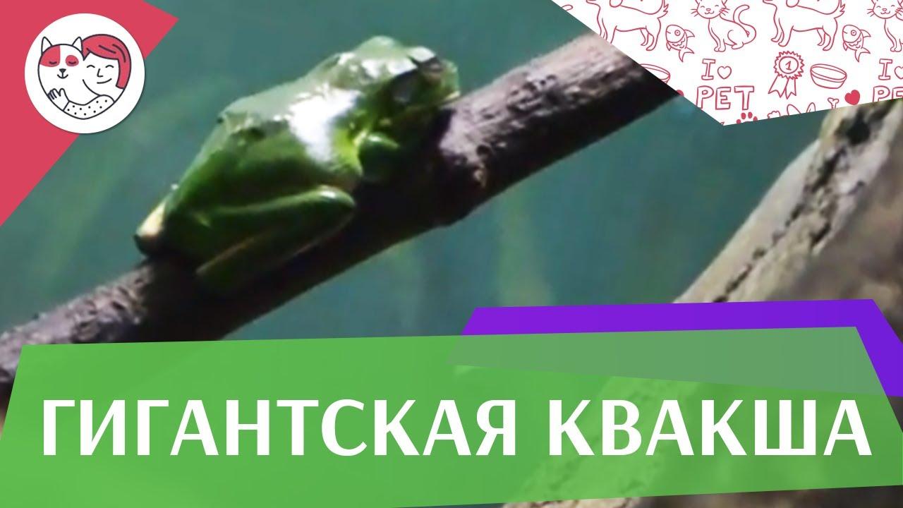 Гигантская квакша   Террариум на ilikepet
