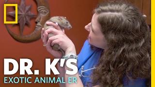 Enjoying Some Rat Kisses | Dr. K's Exotic Animal ER