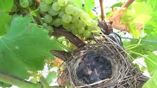 Уборка винограда в Гостагае началась 31.08.2017