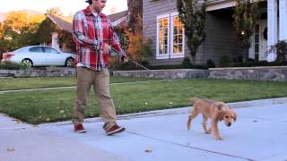 How to Walk a Puppy Under 3 Months Old
