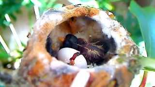 """Baby Hummingbird """"Ricky"""" HATCHES!  MOST INCREDIBLE VIDEO EVER!   MUST SEE!  (4/19/12)"""
