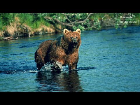 Le double visage des ours