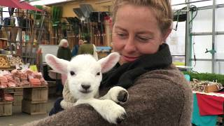 Caring for a one-week old Lamb