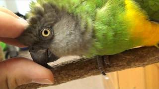 Kili Senegal Parrot - Petting and Purring Parrot