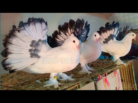 , title : 'top 10 pigeons | fancy pigeon collection | indian pigeon | kabootar ki video