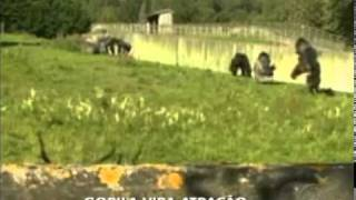 Gorila faz sucesso na internet depois de andar ereto igual humanos