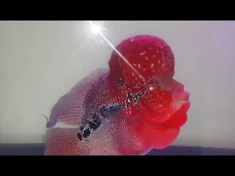 Mega KOK masterpiece short body super red dragon flowerhorn for sale - www.thaiFH.com