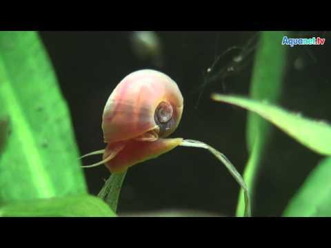 Nikolaj pejtschew, wie die Parasiten aus den feinen Körpern zu entfernen