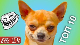 ТОП 10 ВИДЕО С ЧИХУАХУА   ПРИКОЛЫ С СОБАКАМИ   Elli Di Собаки