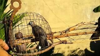 Merbok Tandang ( Mr.T ) Hehehe Prenggg