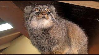 物怖じしないマヌルネコPallas's Cat Which Isn't Timid