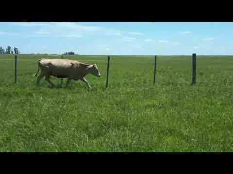 Afiche 23 Vacas de Invernada  - 430kg - Rivera