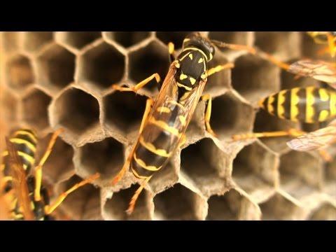 Rittersporn Bienengift für Gelenke