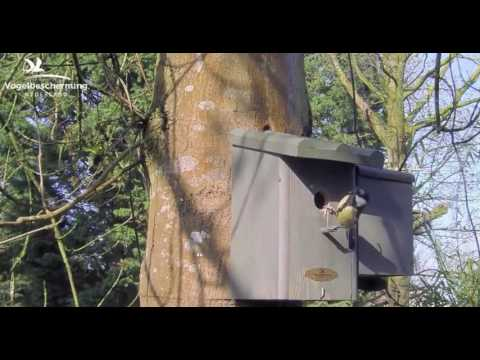 Great Tits: First Nesting Materials & Squirrel - 02.04.2017