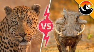 Leopard vs. Warthog!