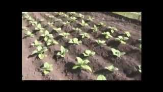 Фильм о выращивании табака от А до Я. От рассвета до заката.