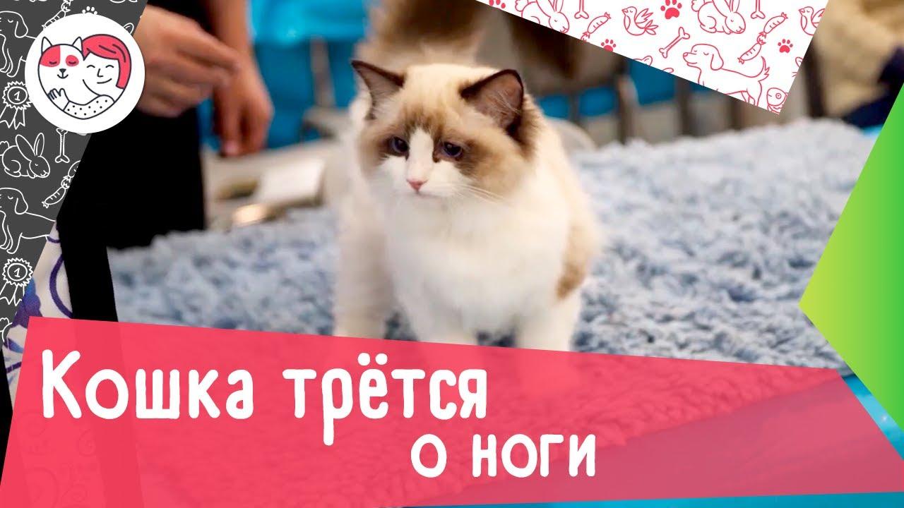 5 распространенных причин, почему кошка трется о ноги