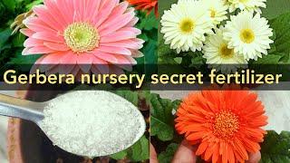 Gerbera plant nursery secret magical fertilizer , gerbera plant repotting n care tips, top secret