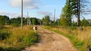 Умная корова, сама идёт домой