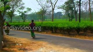Tea Garden, Tripura