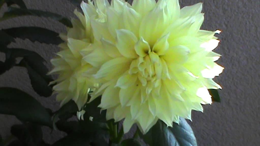 Canary Fubuki Dahlia (fatih-dahlia.atwebpages.com)