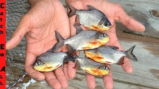 PIRANHAS in FLORIDA BACKYARD FISH TRAP! **Baby Pacu Everywhere**
