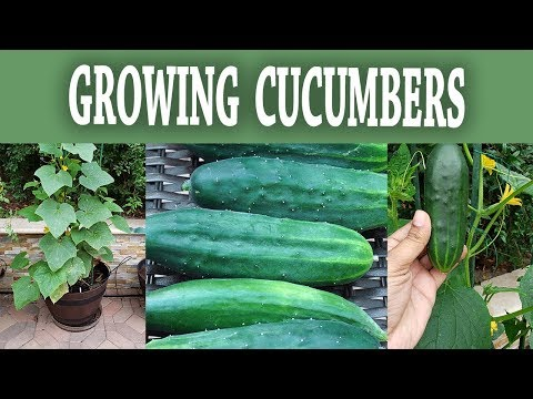 Compact Bush Cucumber - How To Grow Bush Slicer Cucumbers