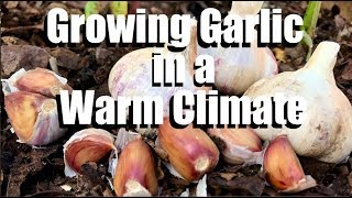 How to Grow Garlic - Plus Tips for Growing it in a Warm Climate