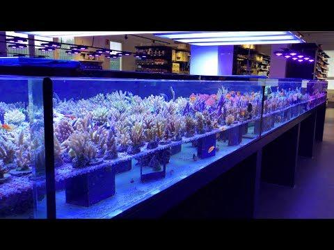 White Corals' Massive Reef Aquarium Showroom Part 2, the CORALS