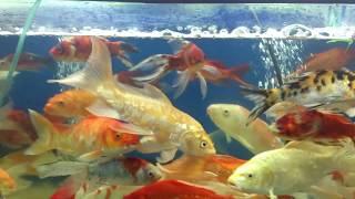 Cá Cảnh siêu đẹp/ Cá Vàng bơi trong bể nước/ Bể cá cảnh siêu đẹp