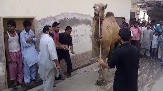 preview picture of video 'Camel Qurbani by kaka Qasaai in multan 2014 at my home'