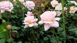 David Austin Roses - Queen Of Sweden - Charming English Rose