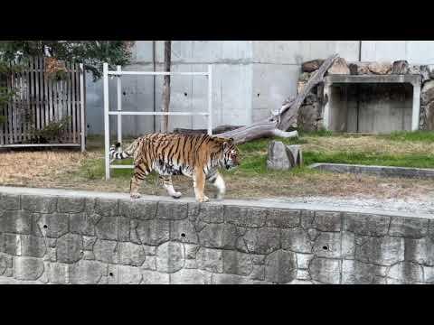 【天王寺動物園】雪の似合うアムールトラ センイチ