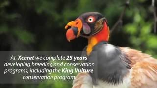 BIRTH OF A KING VULTURE AT XCARET PARK | Xcaret Mexico! Cancun Eco Park