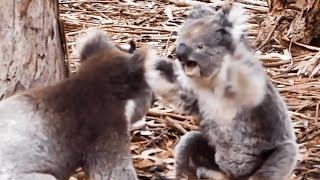 animale bataie intre koala