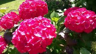 Секреты пышного цветения моей крупнолистной гортензии.