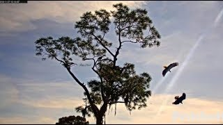 SWFL Eagles ~ SUB ADULT INTRUDER Follows M15 Wanting His Prey! ~ Harriet & M Give Chase! 11.27.19