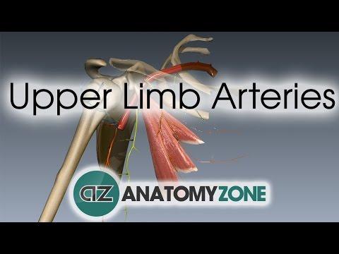 Upper Limb Arteries - Arm and Forearm