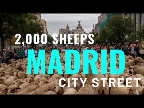 , title : '2,000 OF SHEEPS AT CITY CENTER OF MADRID // ANNUAL MIGRATION MADRID//TRANSHUMANCE FESTIVAL