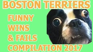 Funny Boston Terrier Fails And Wins 2017- Try Not To Laugh Or Grin