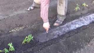 Как посадить рассаду помидоров видео
