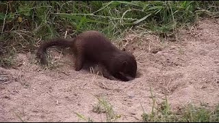 Djuma: Dwarf Mongoose digging in the sand and dirt - 12:03 - 04/28/20