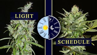 Optimal Light Schedule For Cannabis - [Strain Specific]