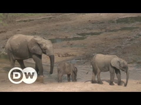 Conflict and conservation in the Central African Republic | DW English