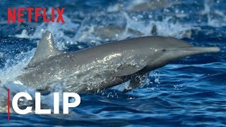 Our Planet | Spinner Dolphins | Clip | Netflix
