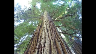 🆕Best Place To See Redwoods Near San Francisco 👉 Redwood State Park California Video