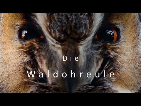 Fiep! Kletternde Federbälle. Die Waldohreule (Eulenfilm)  | Gamander López