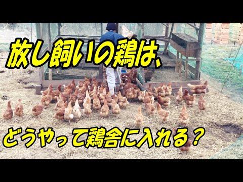 , title : '放し飼いの鶏は、毎日こうやって鶏舎に入れています。