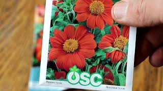 Mexican Sunflower Profile - April 26, 2020